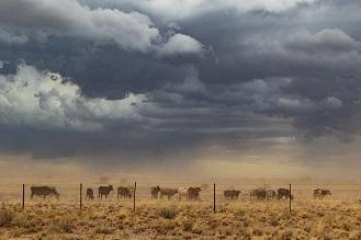 Cattle in dust storm. www.istockphoto.com/portfolio/SilvaPinto